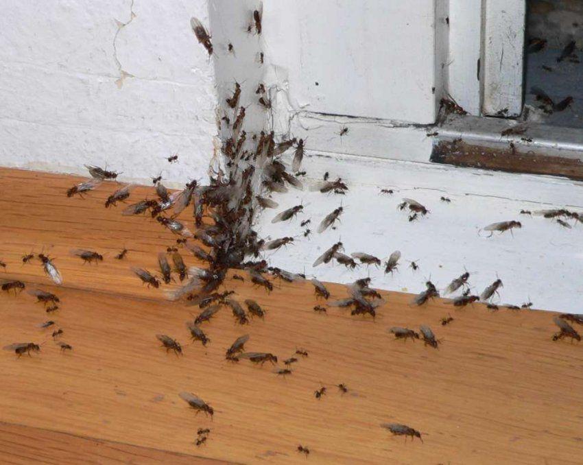 Ameisen Im Haus Schädlingsbekämpfung Ist Gefragt von Ameisen In Der Küche Bild