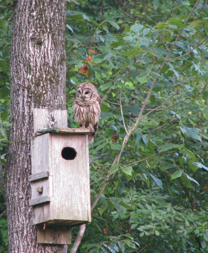 Barred Owl House Plans Crawfishing2 Hw 45Degreesdesign Box Placement von Screech Owl Box Placement Photo