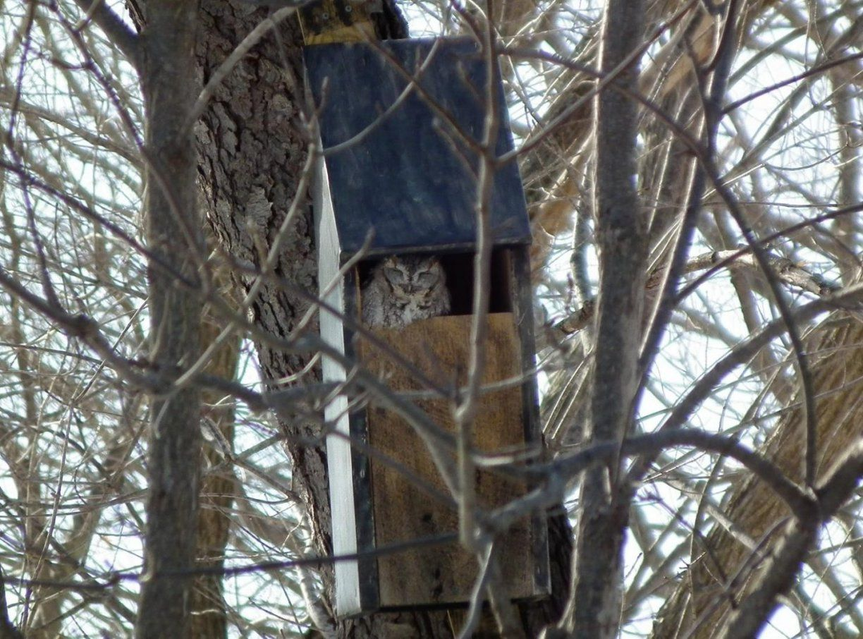 Barred Owl Houses Bird For Finches Nest Box House Plans Placement von Screech Owl Box Placement Bild