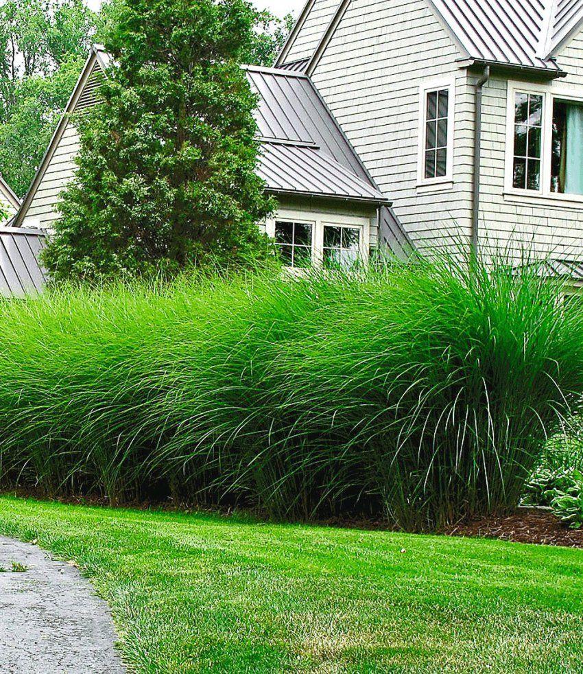 Chinaschilf 'eulalia'  Outdoor  Pinterest  Chinaschilf Gärten von Pflanzen Als Sichtschutz Terrasse Bild