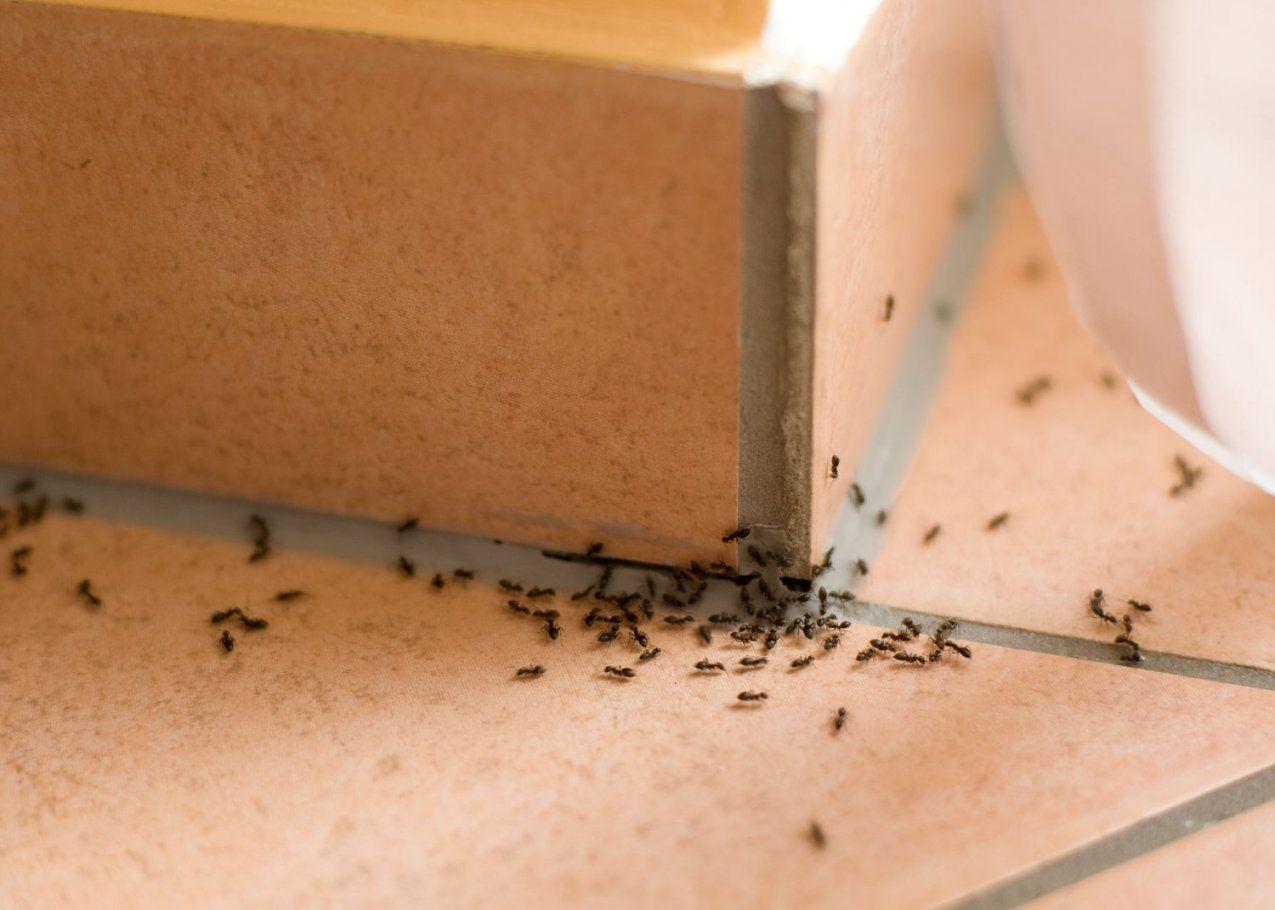 Die 7 Besten Tipps Gegen Ameisen Im Haus von Ameisen In Der Küche Bild