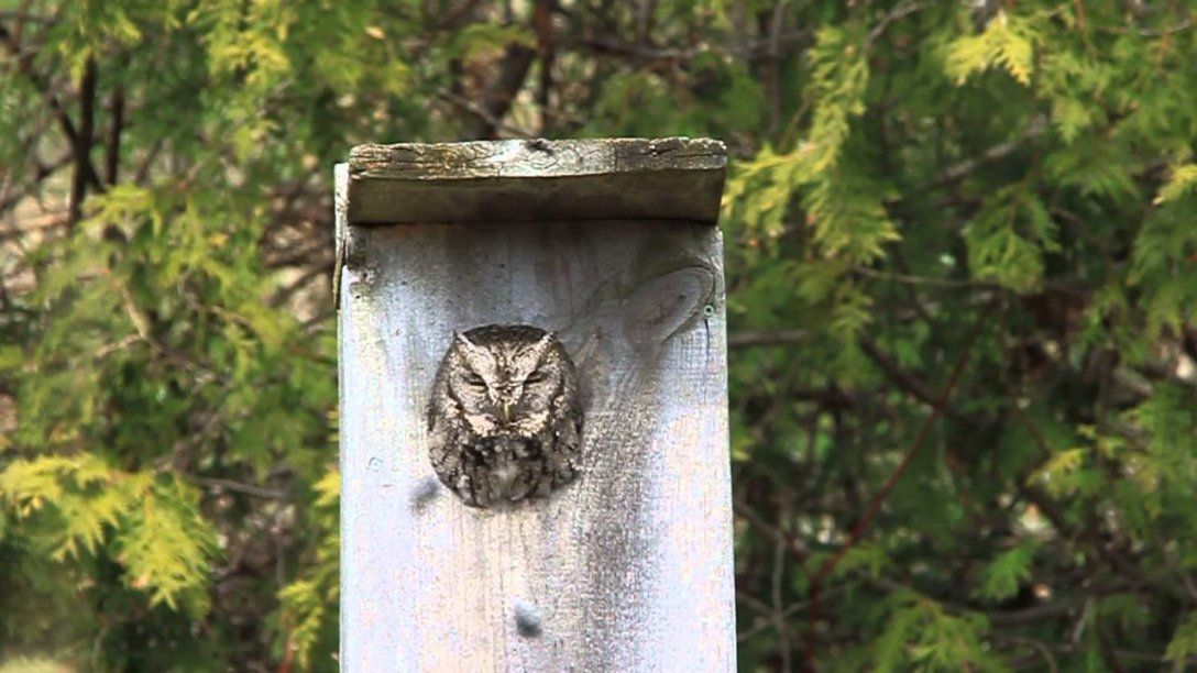 Eastern Screech Owl In A Toronto Park  Youtube von Screech Owl Box Placement Photo