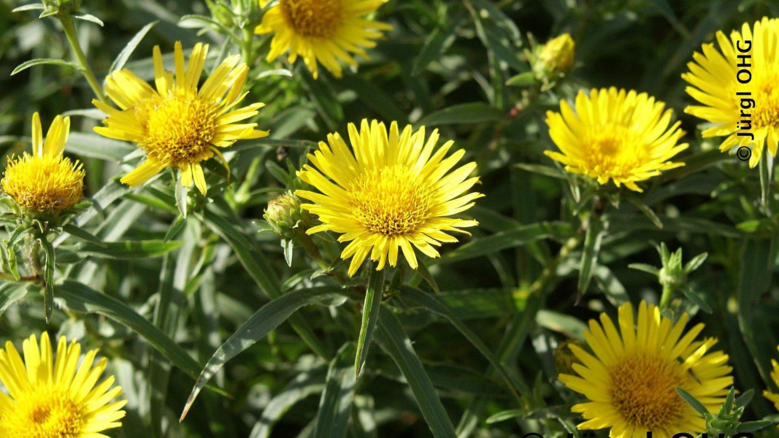 Inulaensifoliabild7 von Pflanzen Für Sonnige Trockene Standorte Photo