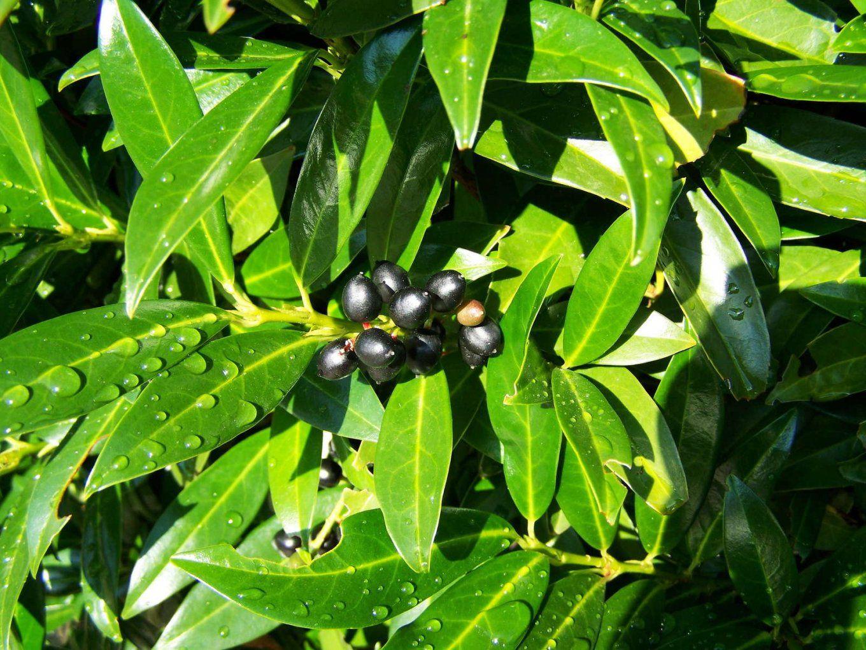 Kirschlorbeer Pflanzen Schneiden & Pflegen (Expertentipps)  Plantura von Wann Darf Man Kirschlorbeer Schneiden Photo