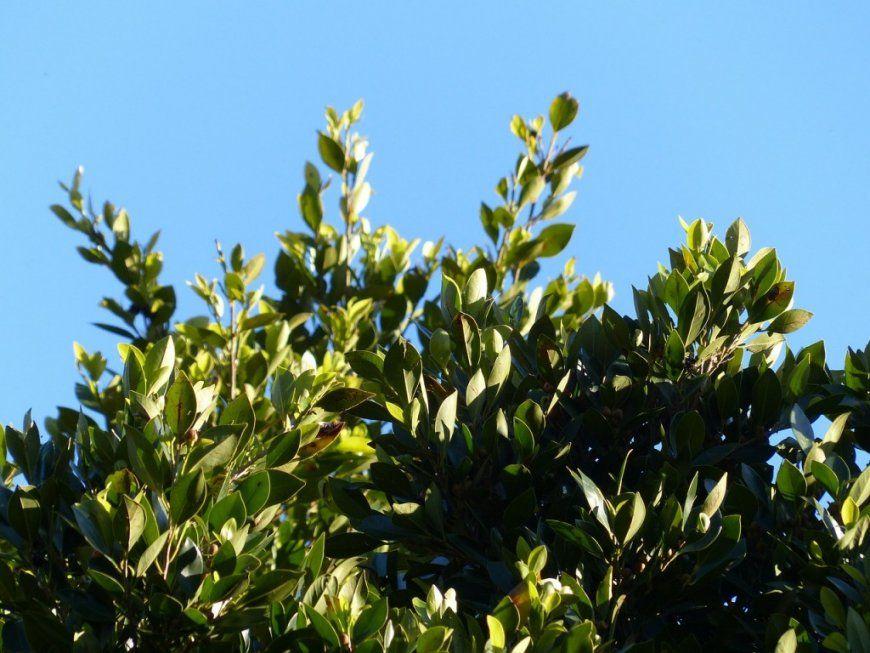 Kirschlorbeer Schneiden  Was Ist Zu Beachten  Garten Mix von Wann Darf Man Kirschlorbeer Schneiden Photo