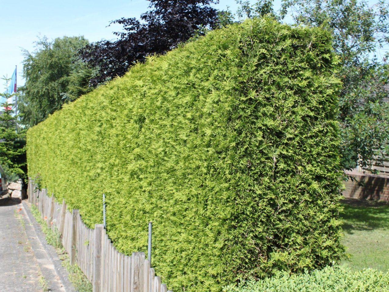 Lebensbaum 'brabant'  Thuja Occidentalis 'brabant'  Baumschule von Thuja Smaragd Richtig Pflanzen Photo