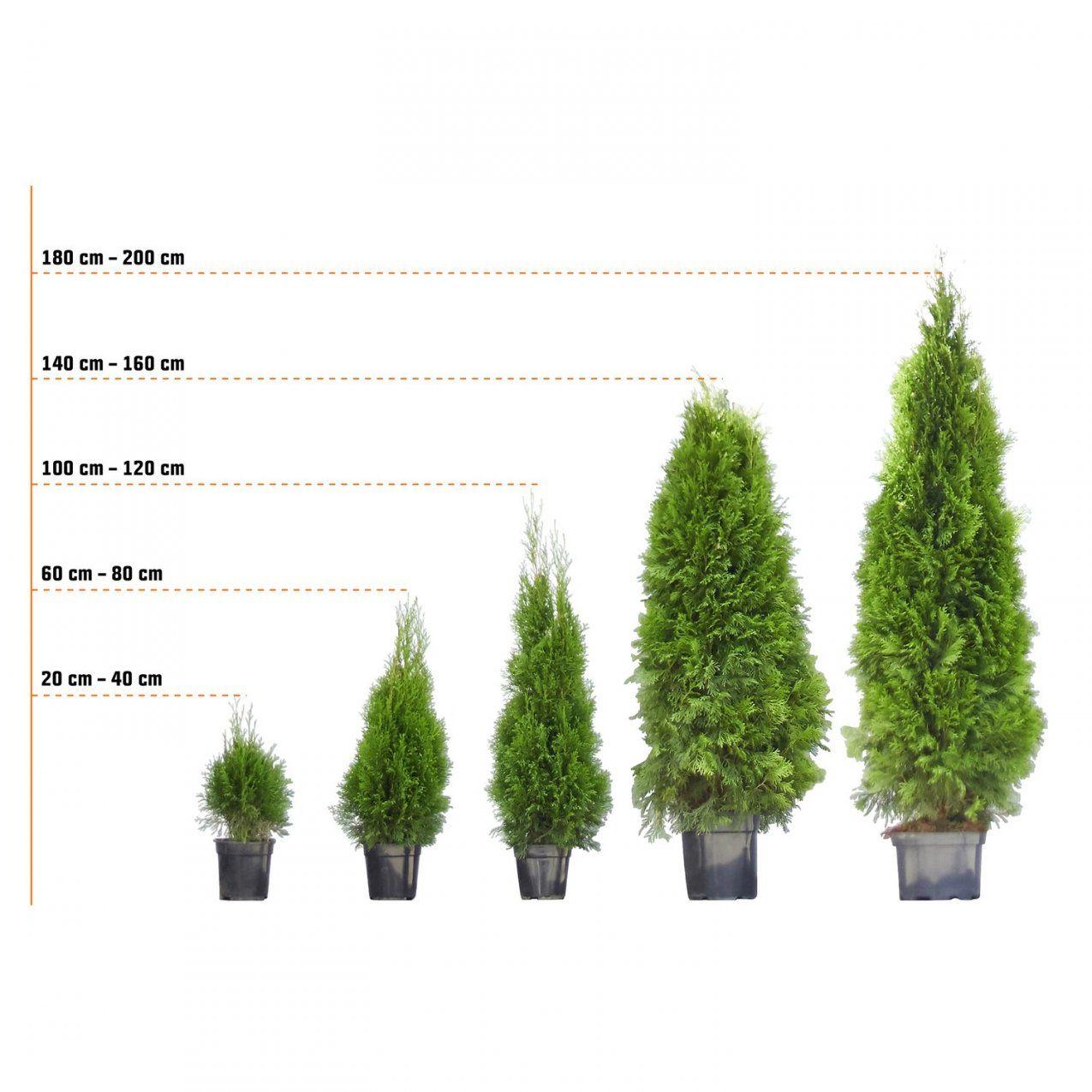 """Lebensbaum """"smaragd"""" Höhe Ca 120  140 Cm Ballenware Thuja Kaufen von Thuja Smaragd Richtig Pflanzen Photo"""