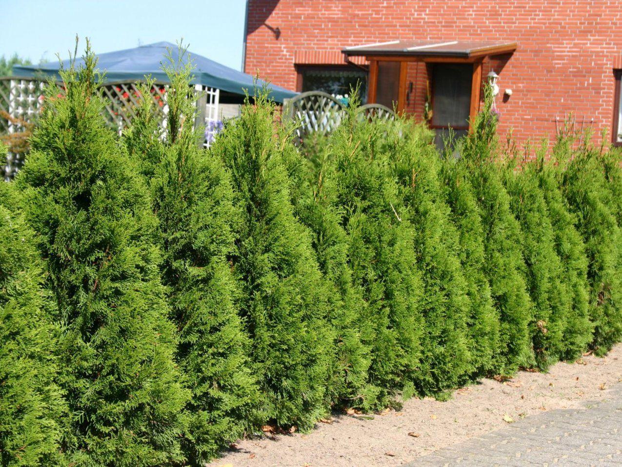 Lebensbaum 'smaragd'  Thuja Occidentalis 'smaragd'  Baumschule von Thuja Smaragd Richtig Pflanzen Photo