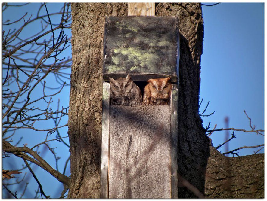 Owls & Others Of Essex Ma A Different Kind Of Owl Box von Screech Owl Box Placement Photo
