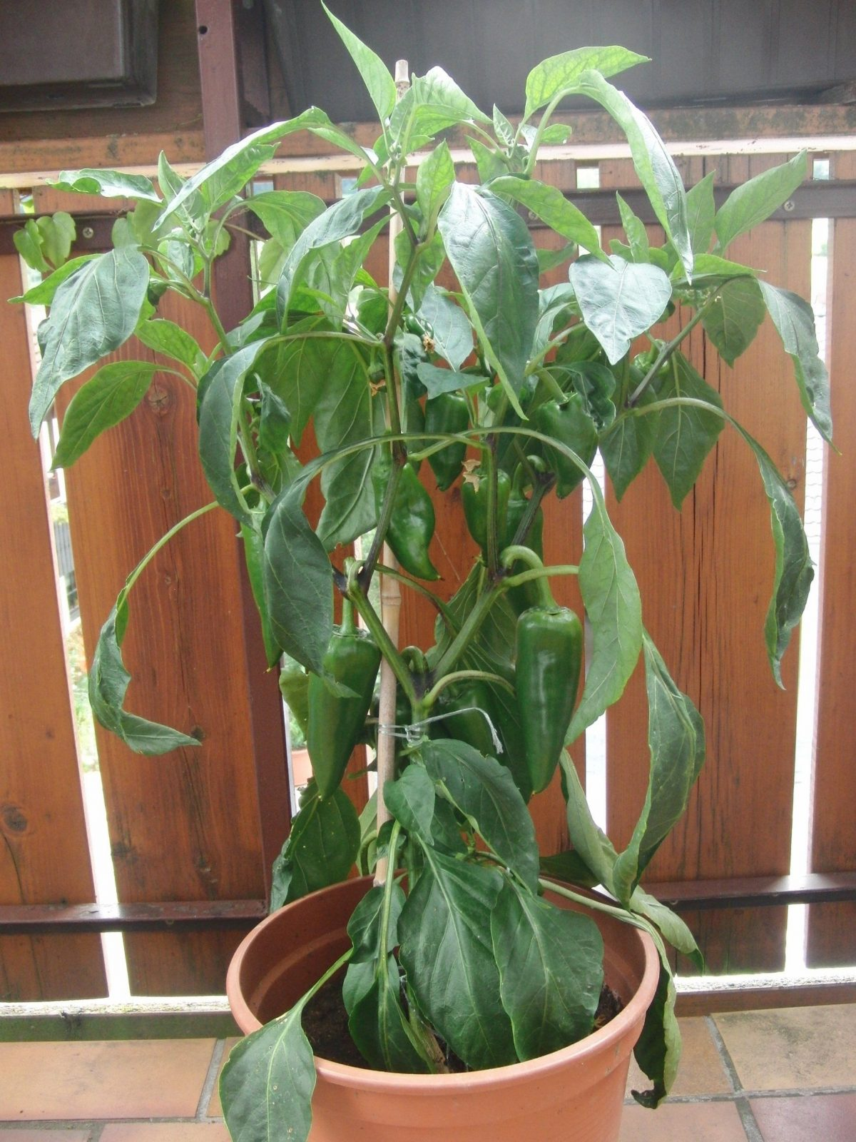 Paprika  Vitaminbombe Für Sonnige Balkone  Balkonoasebalkonoase von Pflanzen Für Sehr Sonnigen Standort Photo