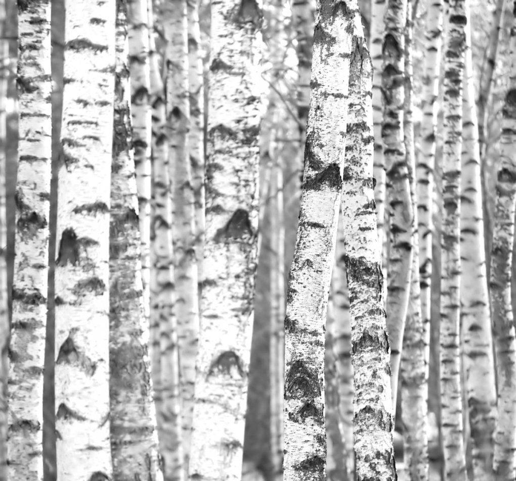 Phänomenale Ideen Birke Tapete Schwarz Weiß Und Hochwertige Tapeten von Tapete Birke Schwarz Weiß Photo