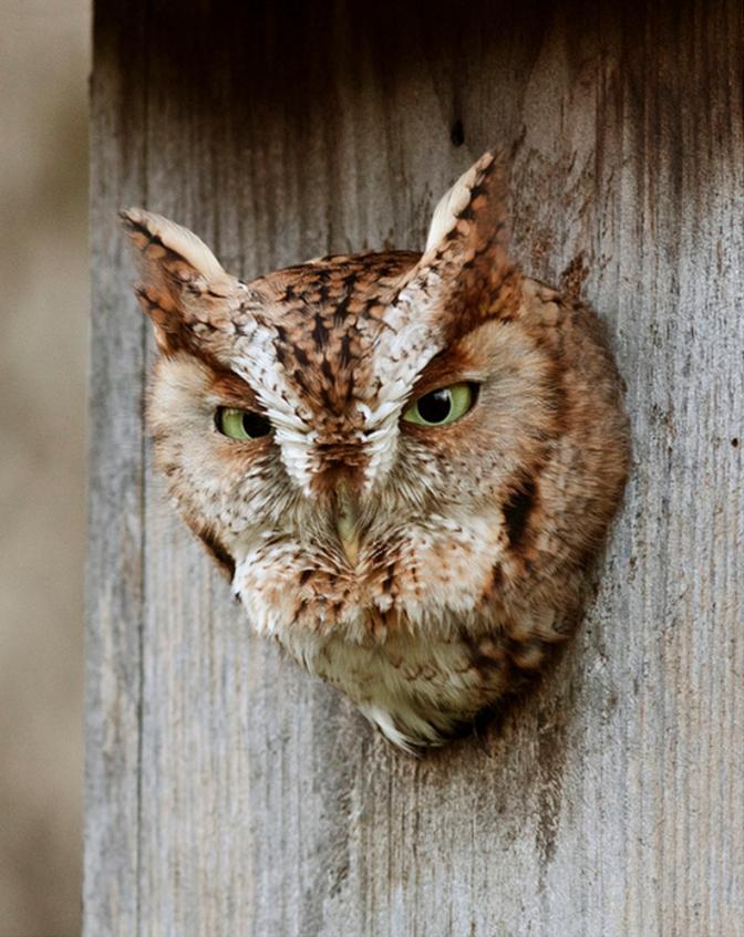 Pinharriet Swindell On Owls  Pinterest  Nest Box Birdhouse von Screech Owl Box Placement Photo