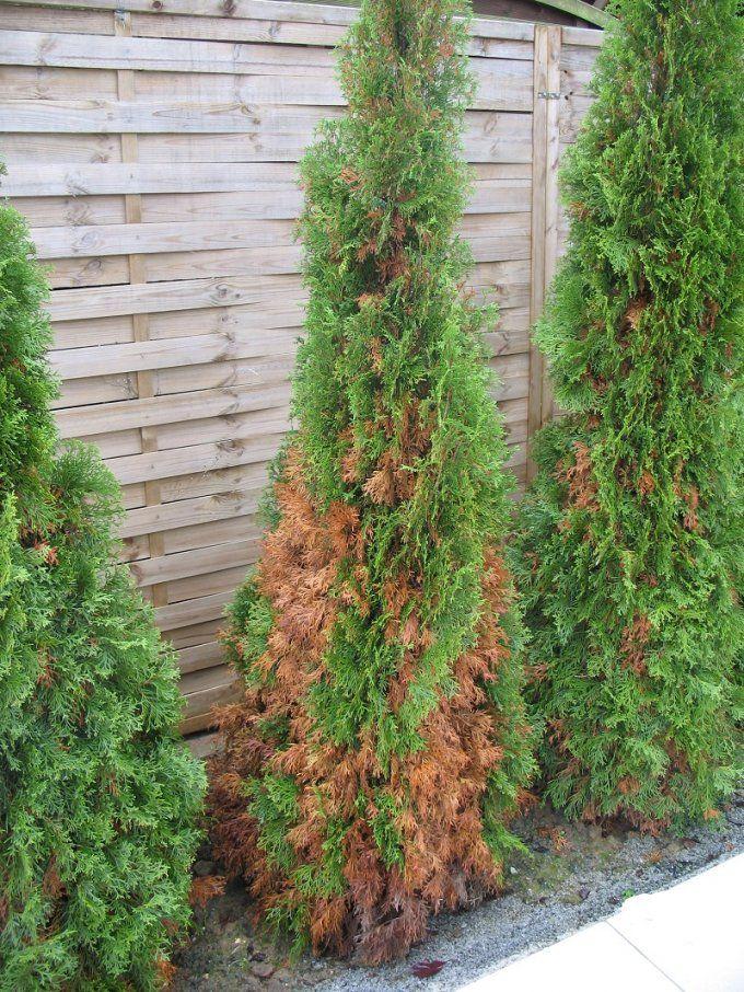 Thuja Smaragd (Un)Empfindlich Gegen Krankheiten Und Trockenheit von Thuja Smaragd Richtig Pflanzen Photo