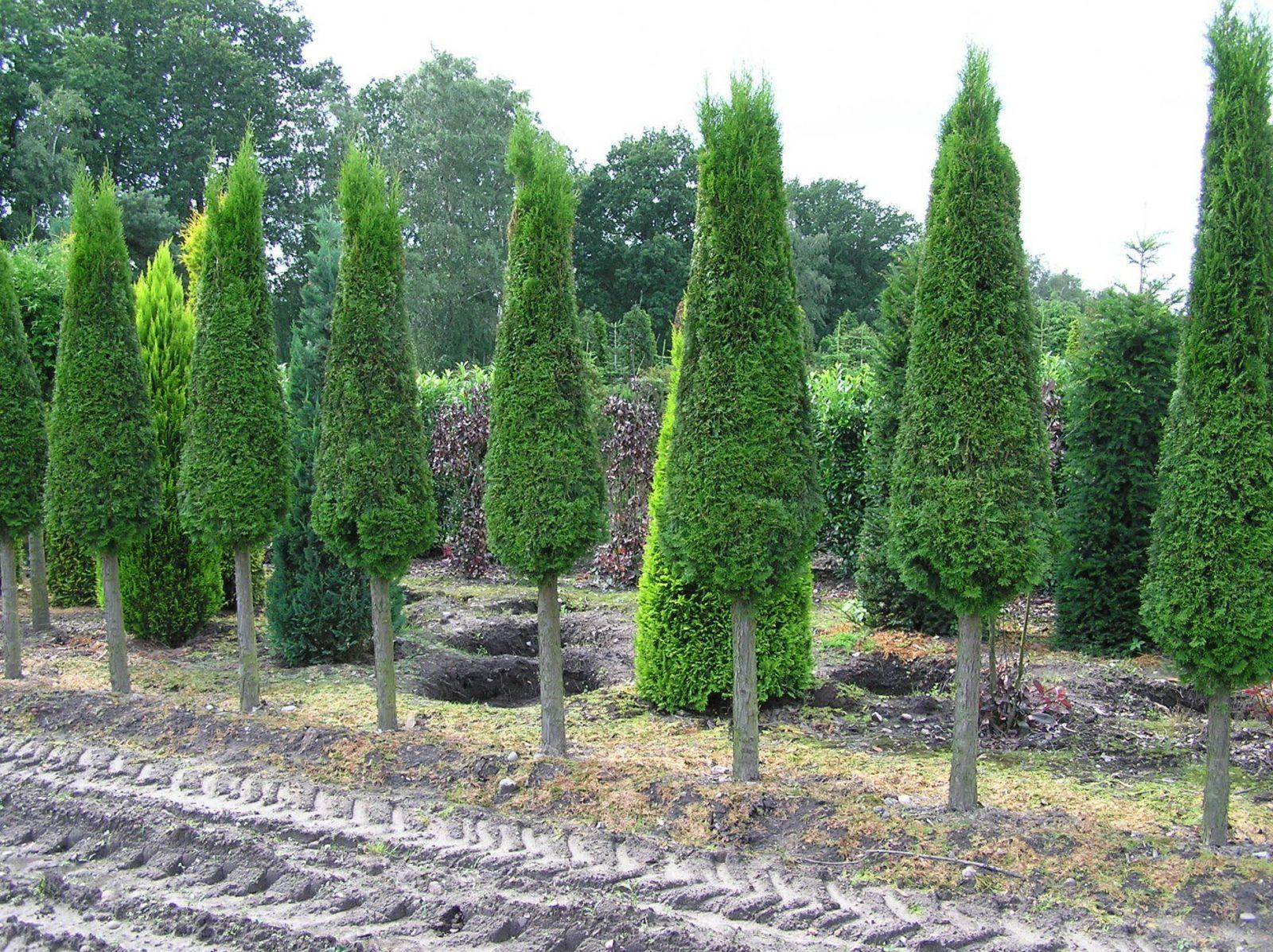 Thujalebensbaum  Die Perfekte Heckenpflanze von Thuja Smaragd Richtig Pflanzen Bild