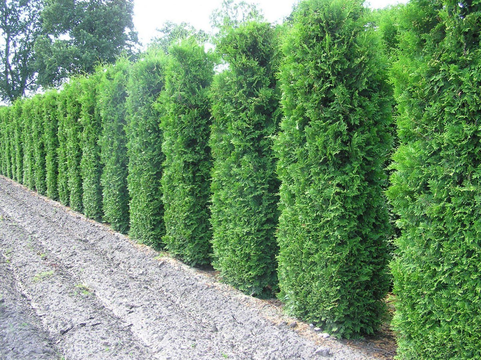 Thujalebensbaum  Die Perfekte Heckenpflanze von Thuja Smaragd Richtig Pflanzen Photo