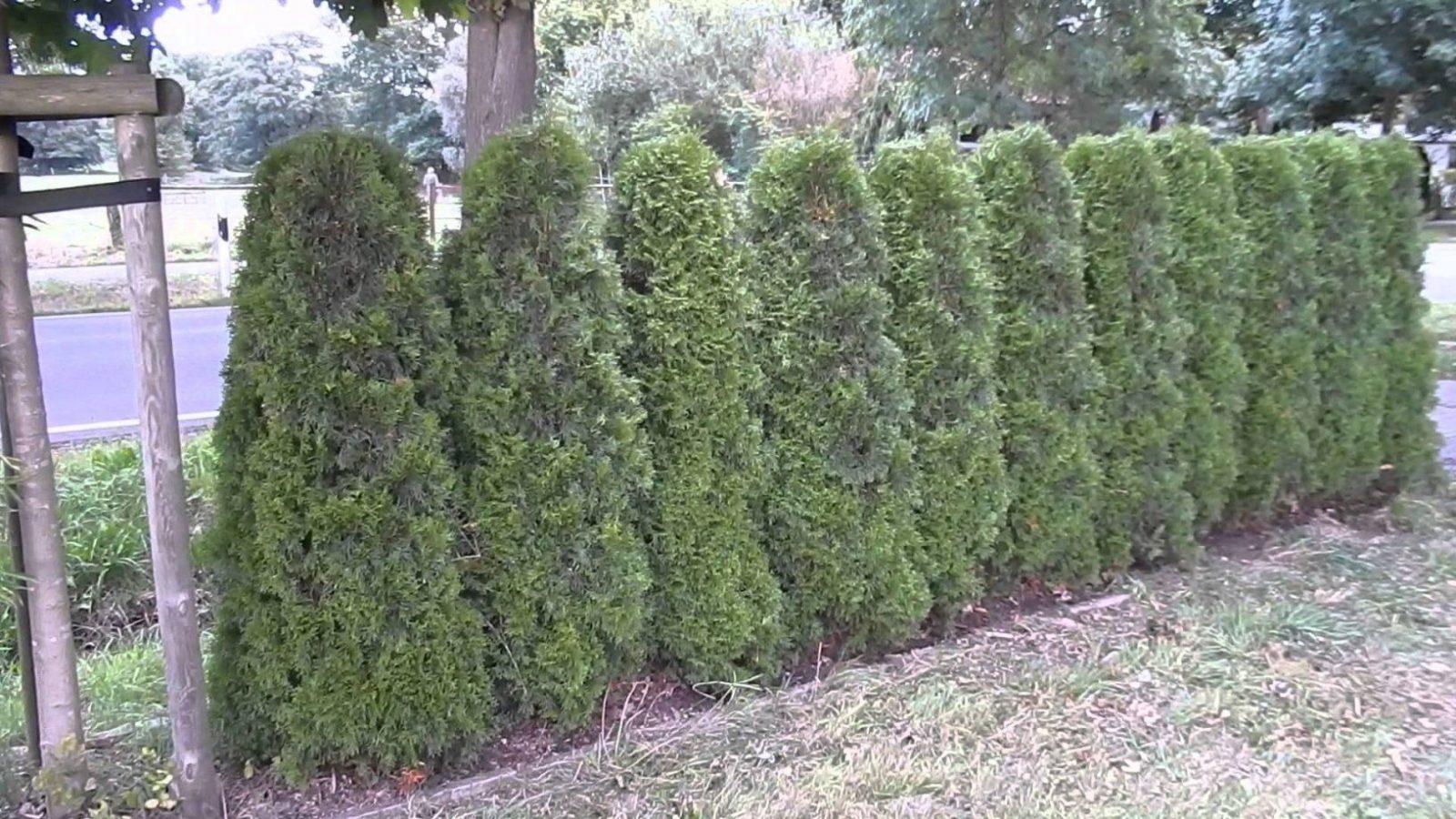 Thujasmaragdbambusbambusheckenfreilandsichtschutz  Youtube von Thuja Smaragd Richtig Pflanzen Bild