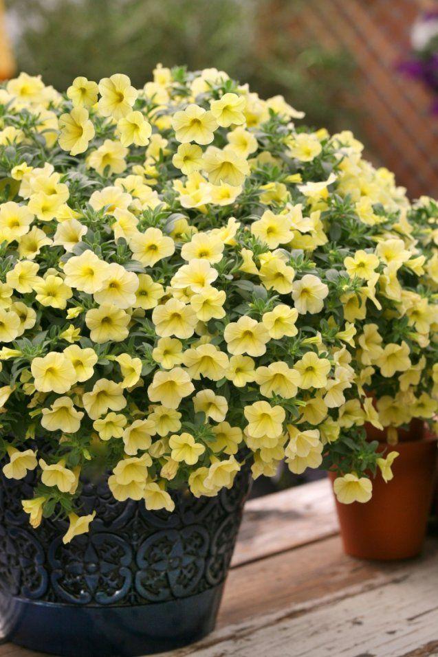 Welche Balkonpflanzen Für Sonnigen Balkon Wählen von Pflanzen Für Sehr Sonnigen Standort Bild