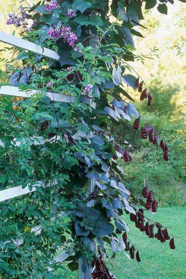 12 Tolle Vorschläge Für Schnellwachsende Kletterpflanze Im Garten von Schnell Wachsende Kletterpflanze Winterhart Photo