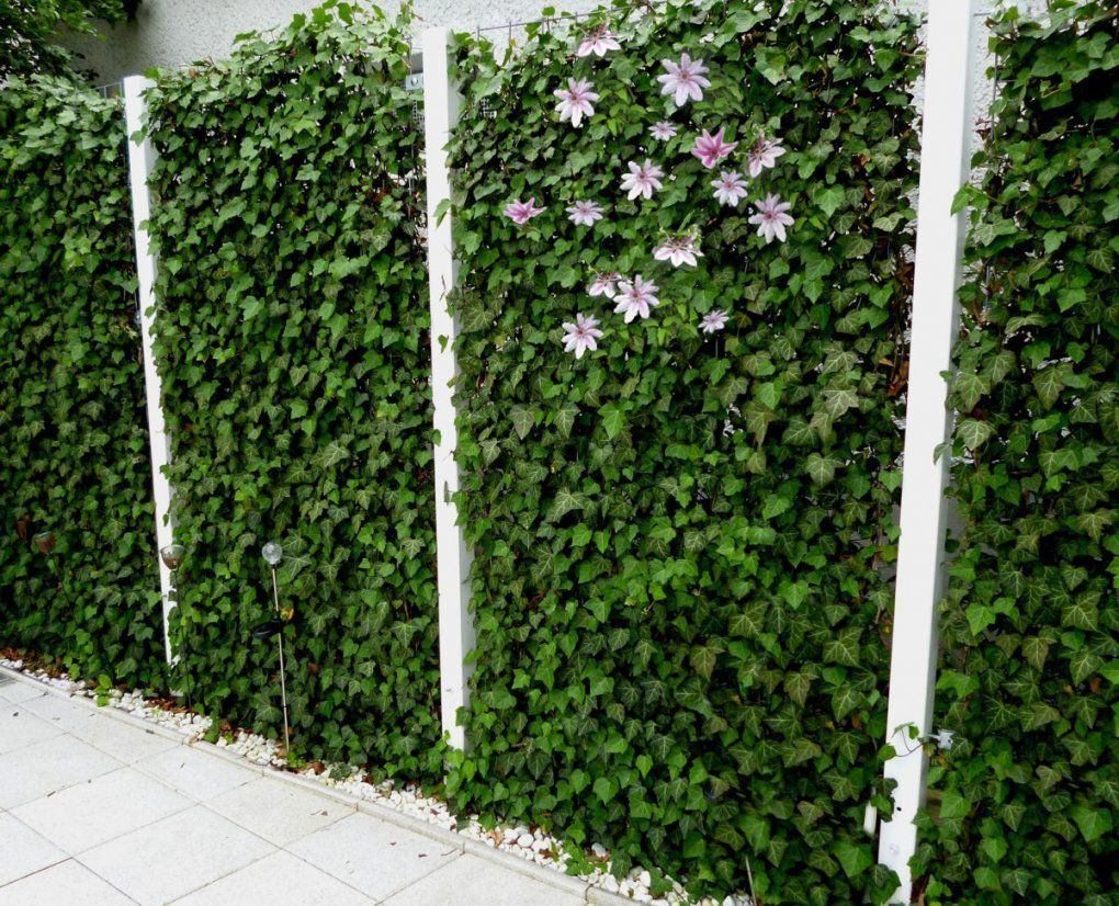 Blühende Hecke Efeu Mit Clematis  Ostern  Pinterest  Blühende von Hecke Am Laufenden Meter Günstig Photo