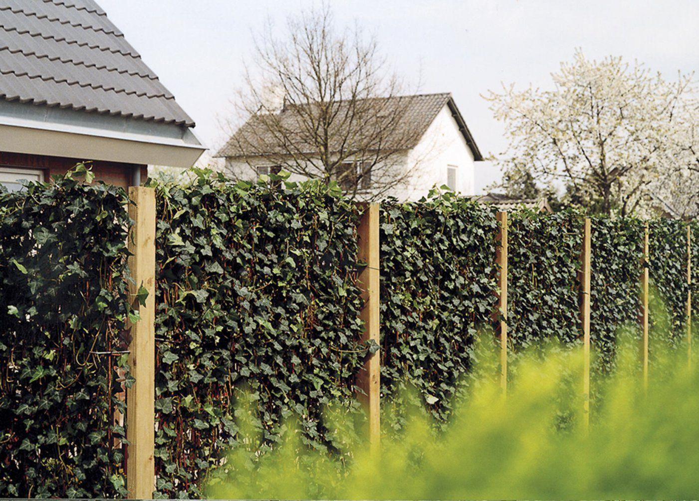 Die Hecke Am Laufenden Meter  Zaun Pflanzen Oder Hecke Bauen von Sichtschutz Efeu Am Laufenden Meter Photo