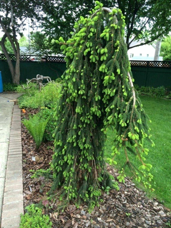 Ehrfurcht Gebietend Bäume Für Kleine Gärten Immergrune Baume Als von Schnell Wachsende Bäume Für Kleine Gärten Photo