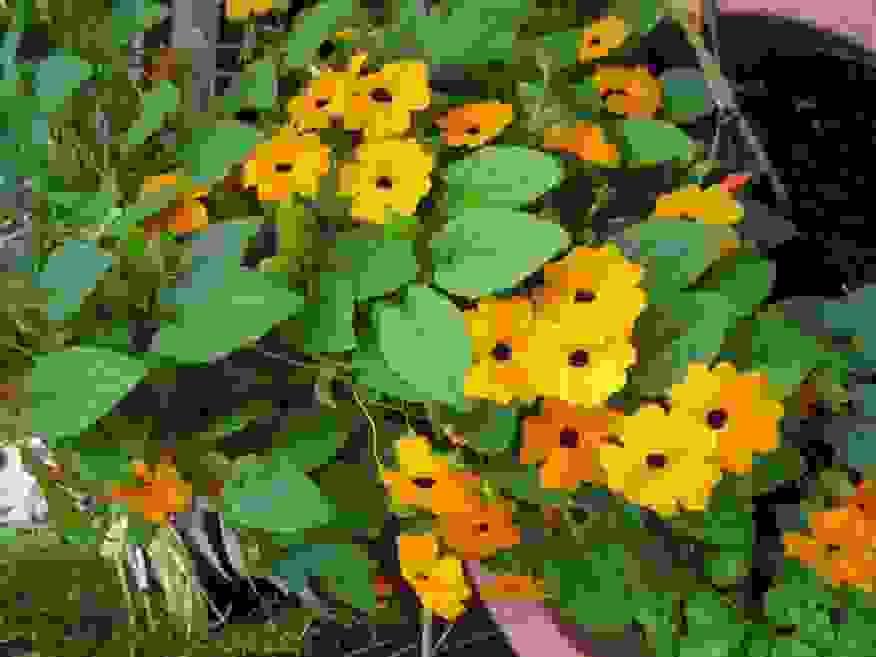 Ehrfurcht Gebietend Schnellwachsende Kletterpflanzen Von Von Schnell