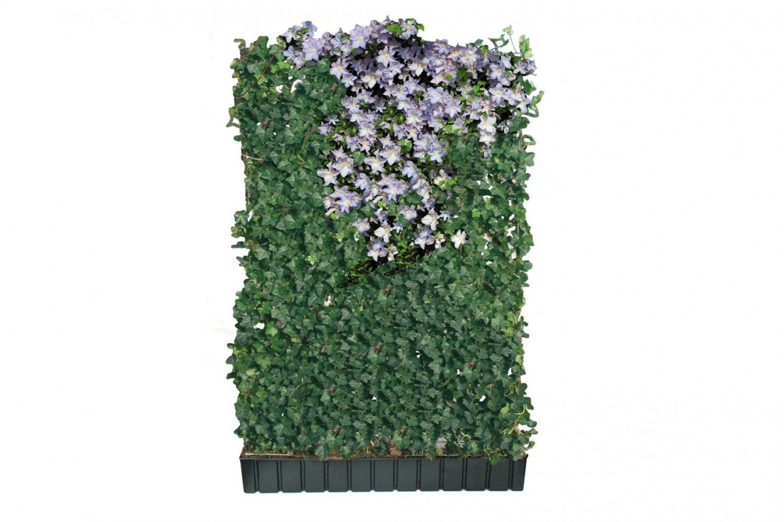 Halm Color  Helix Pflanzen von Sichtschutz Efeu Am Laufenden Meter Photo