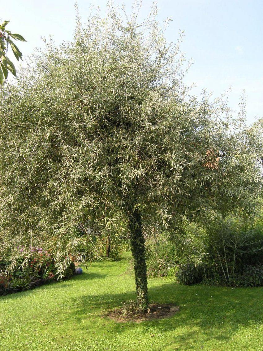 Hausbäume Für Kleine Gärten  Kleine Bäume Zweige Und Birnen von Schnell Wachsende Bäume Für Kleine Gärten Bild