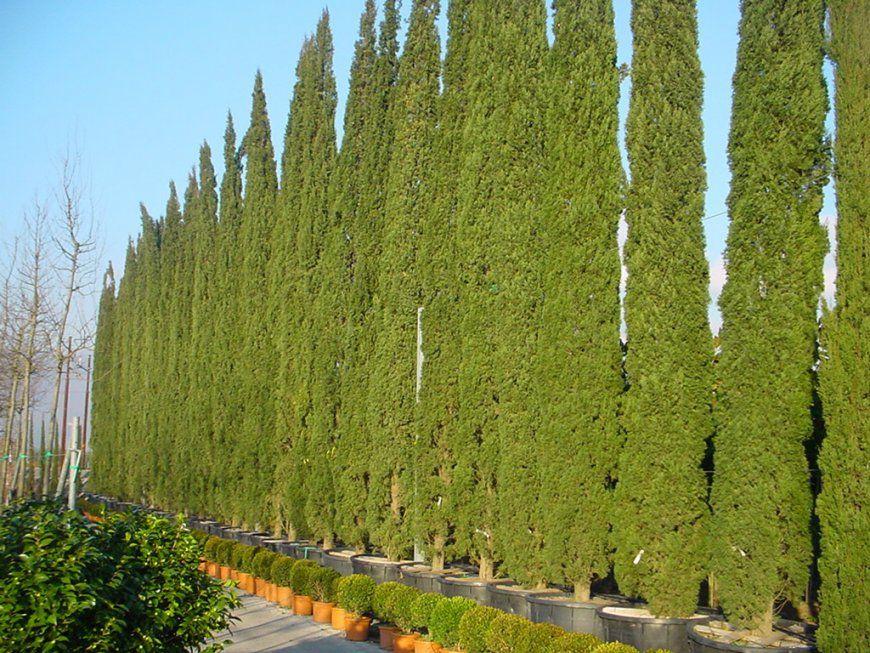 Heckenpflanzen Für Schmale Hecke Heckenstar von Schmale Hecke Als Sichtschutz Photo