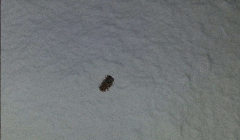 Kammerjaeger • Thema Anzeigen  Roterosa Larven + Käfer von Maden In Der Wohnung Woher Bild