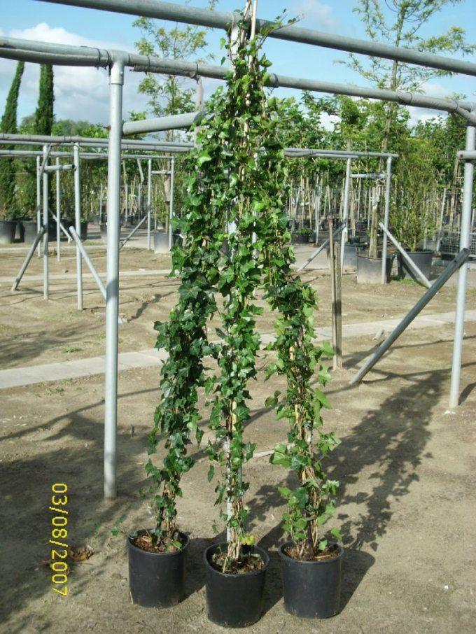 Kletterpflanzen Efeu  Baumschulepflanzen Große Pflanzen Und Bäume von Schnell Wachsende Kletterpflanze Immergrün Bild