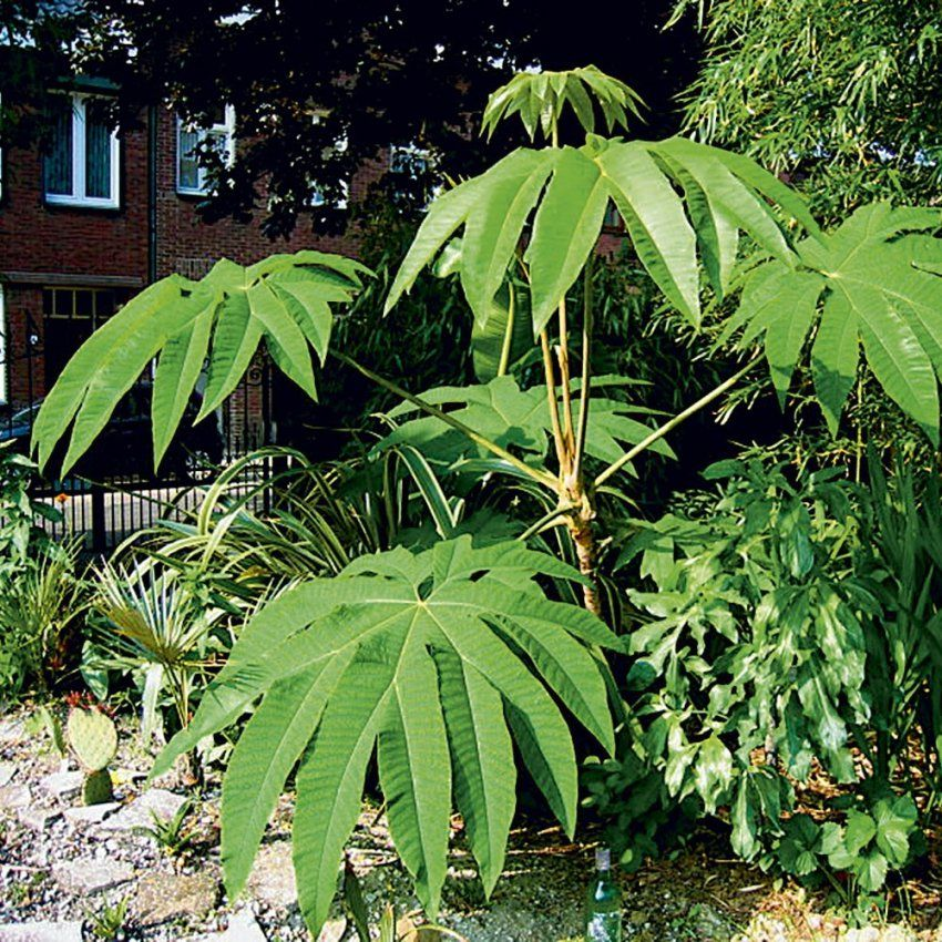 Palmen & Exotische Pflanzen Kaufen Bei Ahrens+Sieberz von Winterharte Exotische Pflanzen Für Den Garten Photo