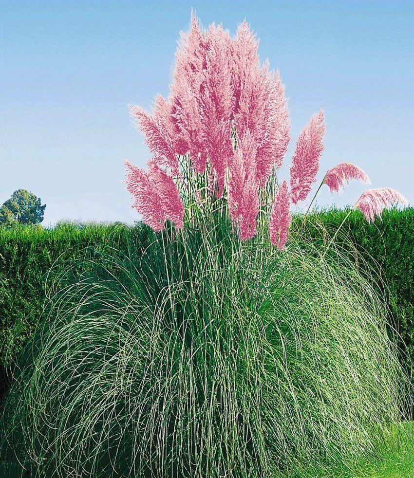 Rosa Pampasgras  Garten  Pinterest  Pampasgras Rosa Und Gärten von Pflegeleichte Pflanzen Für Den Vorgarten Bild