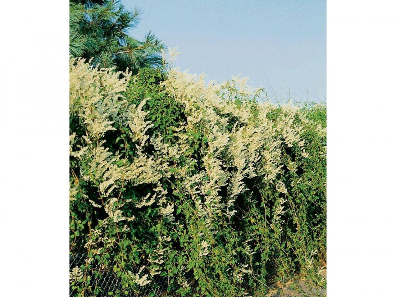 Schnell Wachsende Kletterpflanze Die Besten 25 Schnell Wachsende von Schnell Wachsende Kletterpflanze Immergrün Photo