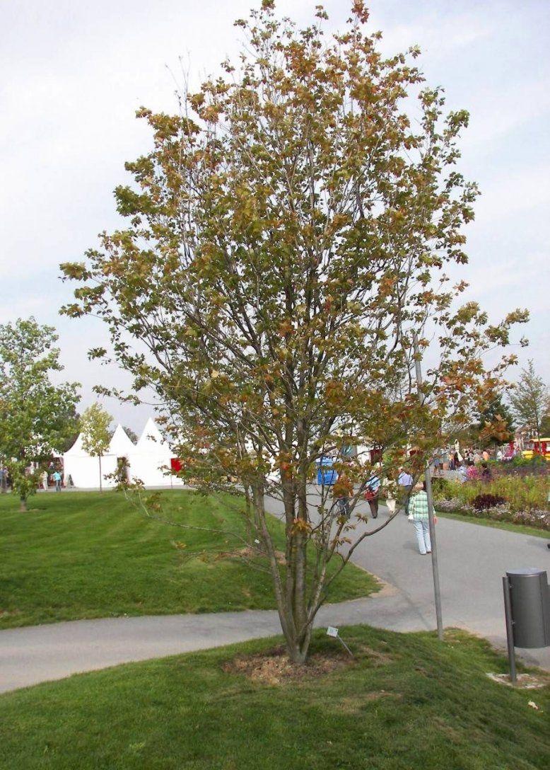 Schnell Wachsende Laubbäume Für Den Garten Schön Schnell Wachsende von Schnell Wachsende Bäume Für Kleine Gärten Photo