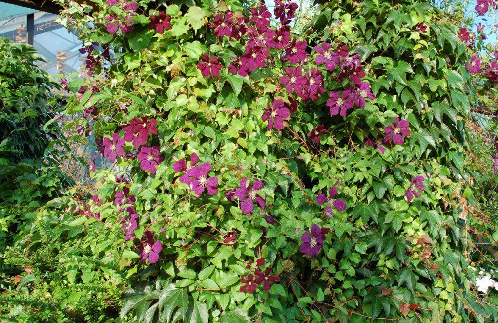 Schnellwachsende Und Immergrüne Kletterpflanzen  Gartencenter Welter von Schnell Wachsende Kletterpflanze Immergrün Photo