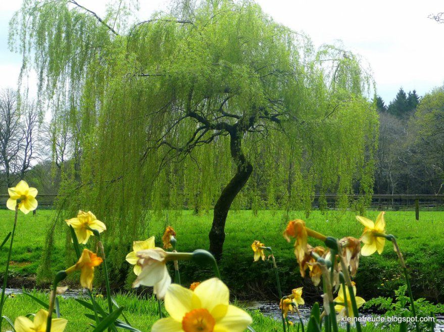 Schöne Bäume Für Kleine Gärten Kleine Freude Die Weide Willow Im von Schnell Wachsende Bäume Für Kleine Gärten Photo