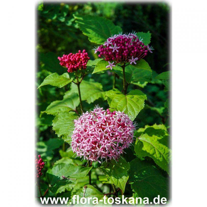 Seltene Exotische Sträucher Im Garten Pflanzen  Flora Toskana von Winterharte Exotische Pflanzen Für Den Garten Photo