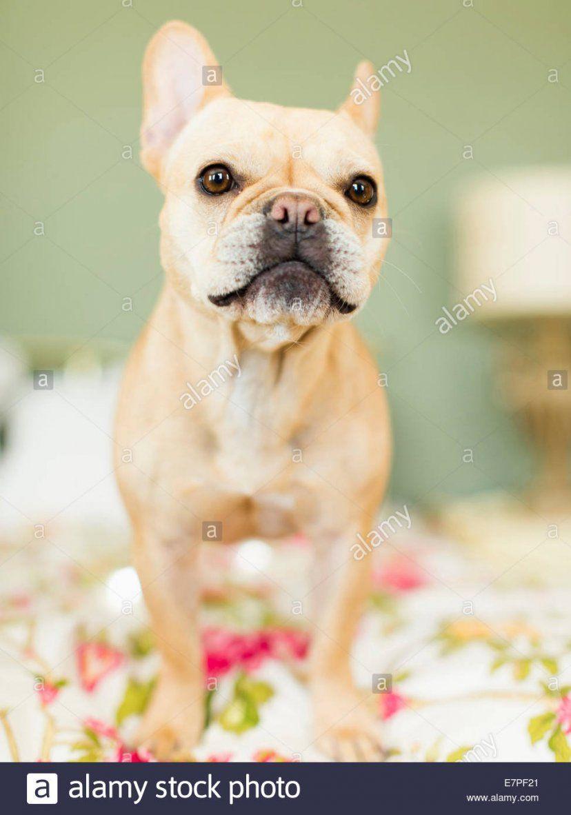 Studioaufnahme Von Französische Bulldogge Auf Bettwäsche Stockfoto von Bettwäsche Französische Bulldogge Photo
