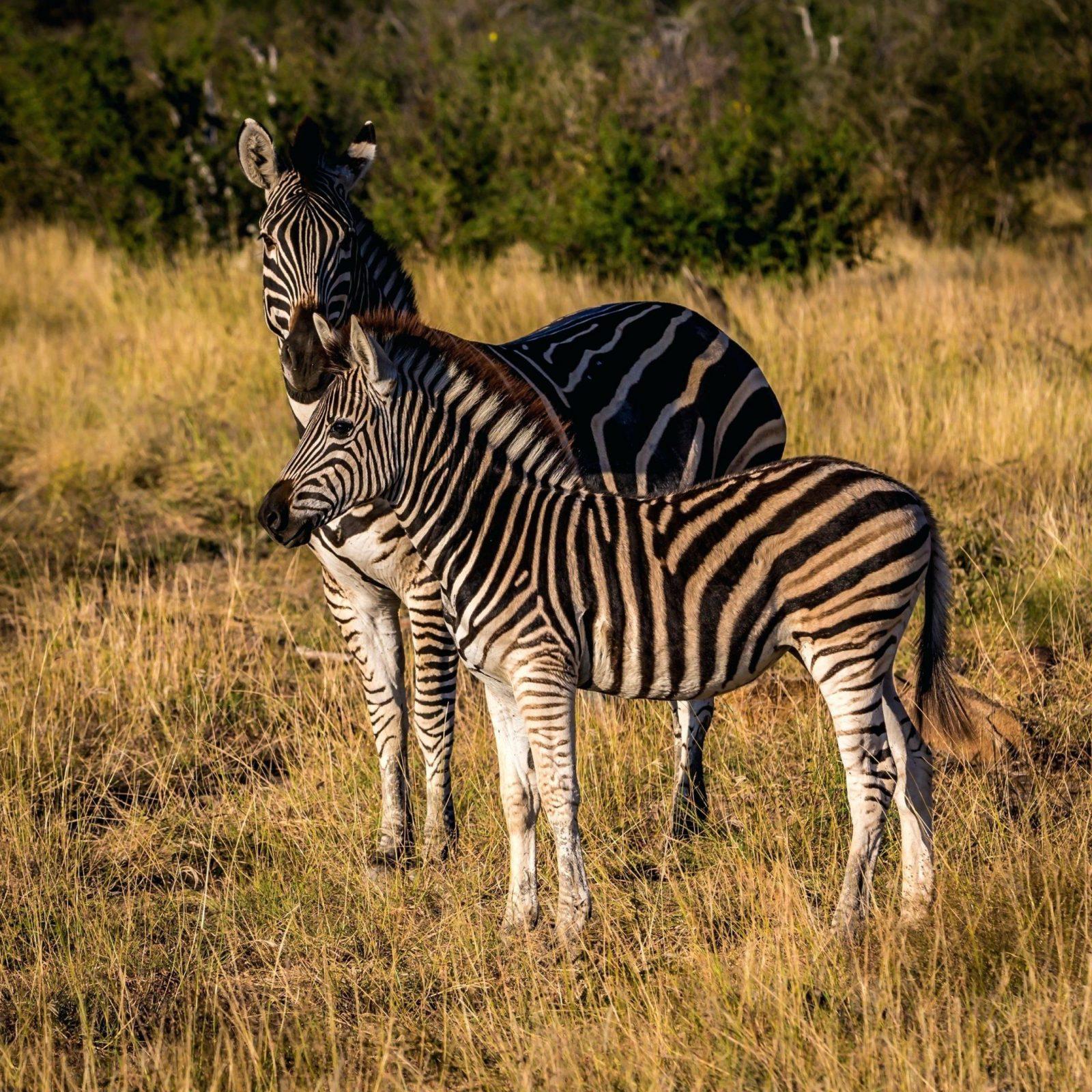 Zebra Bilder Tierwelt Saugetier Fauna Savanne Wiese Wirbeltier von Zebra Bilder Auf Leinwand Bild
