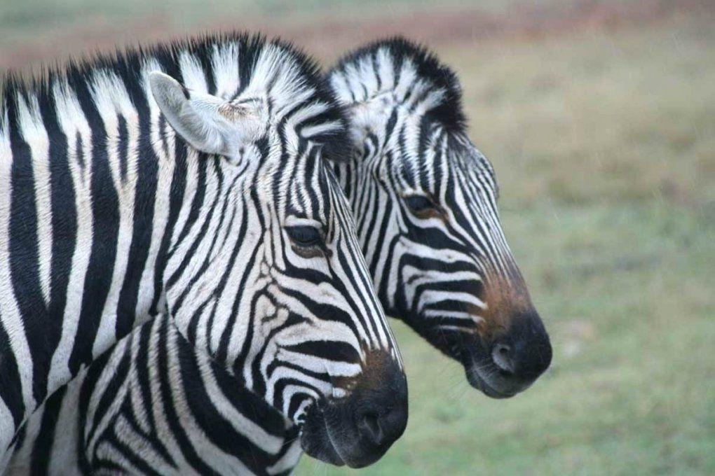 Zebra Bilder Zebras Safaris 3G Zum Ausmalen Auf Leinwand Bild Ikea von Zebra Bilder Auf Leinwand Bild